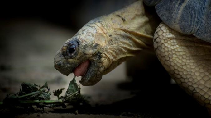 Vegetarian Turtle